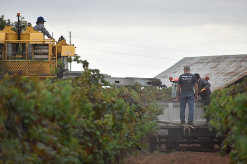 Our harvest crew hard at work picking Barbera